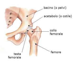anca_anatomia