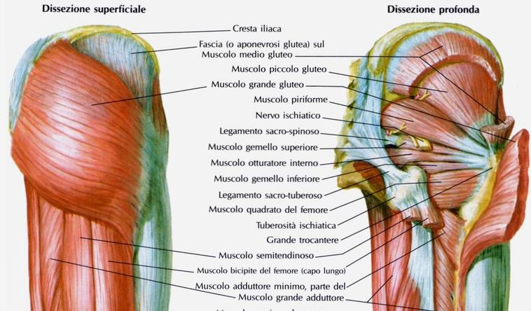 bacino muscoli