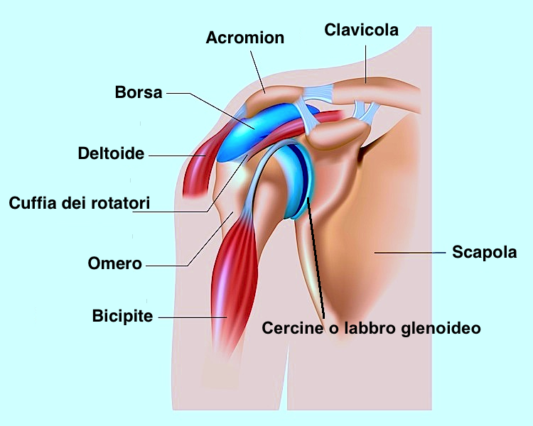 anatomia-della-spalla