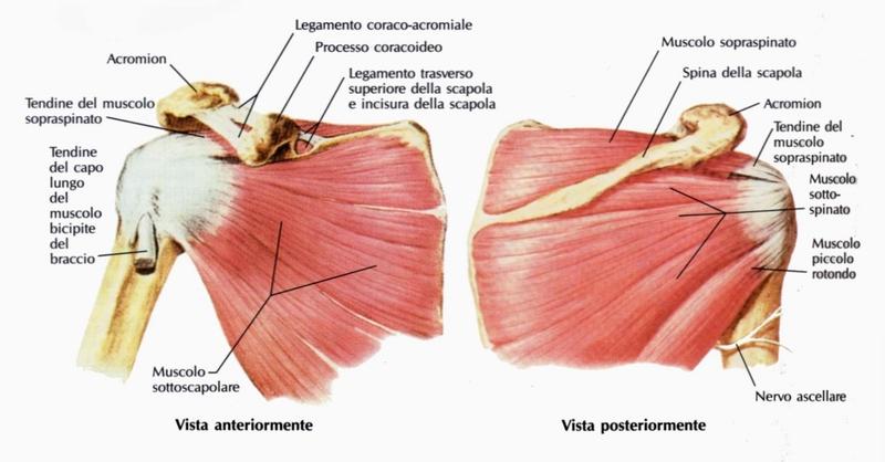anatomia muscoli spalla